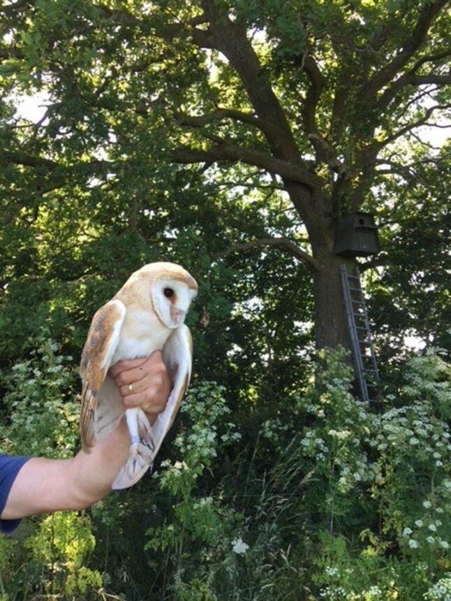 Barn owl boxes are a breeding success