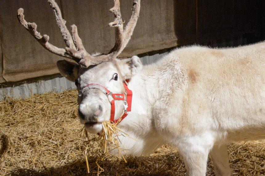 Nutley Farm Reindeer Experience