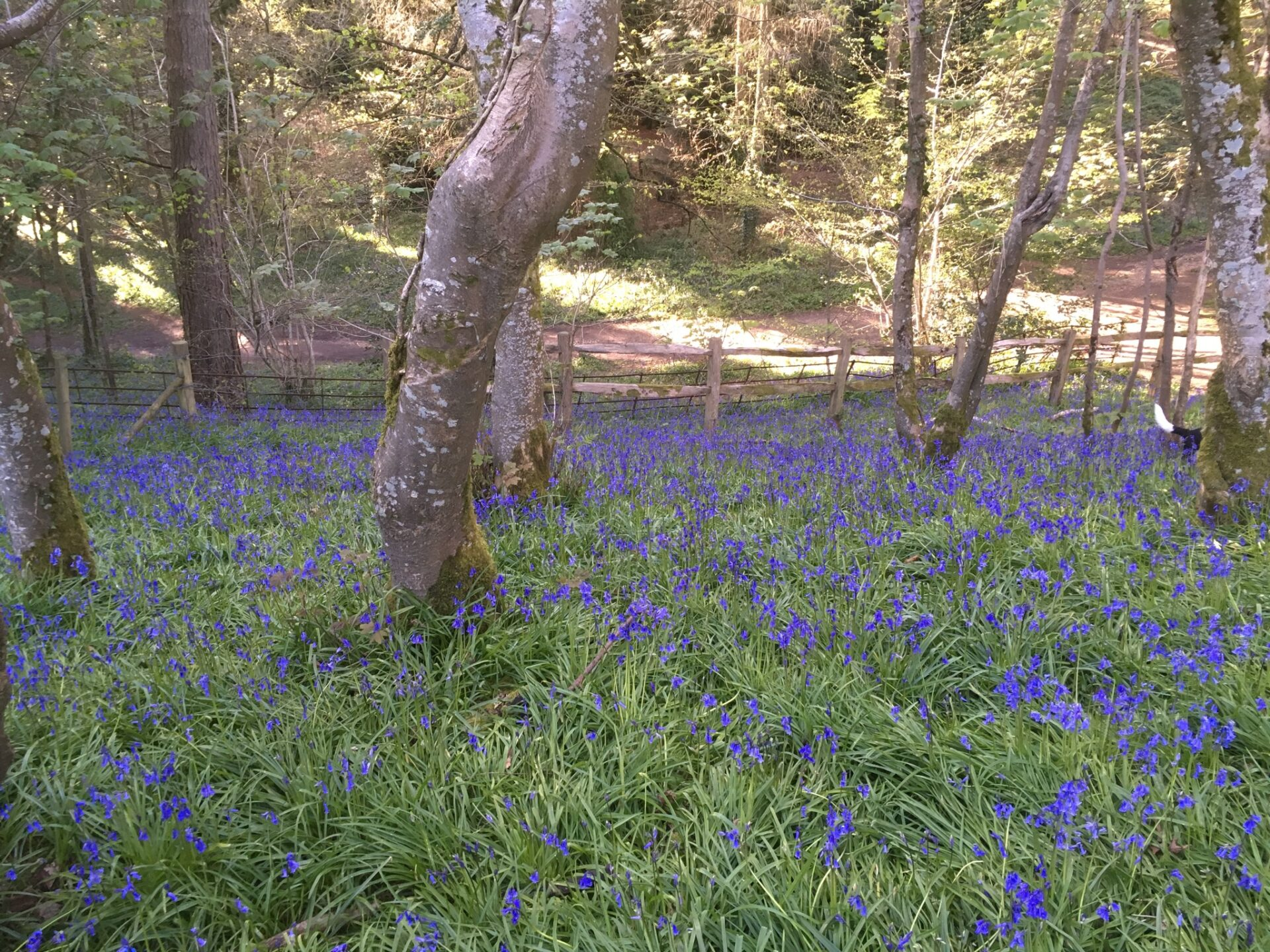 Dorset bluebell wood